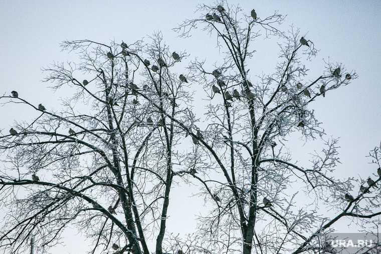 в Тюменской области массово гибнут птицы